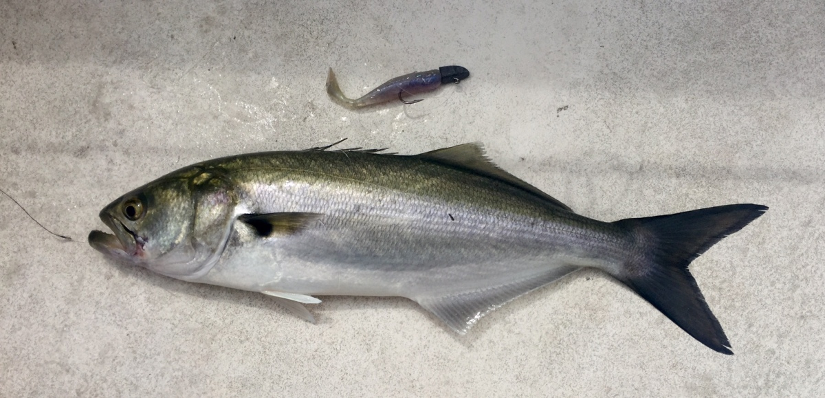 Fishing report patuxent river and lower chesapeake bay for Lower chesapeake bay fishing report